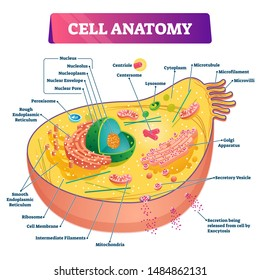 Cell anatomy vector illustration. Labeled educational structure diagram. Isolated microscopic biological scheme with cytoplasm, mitochondria, ribosome and endomlasmic reticulum location explanation.