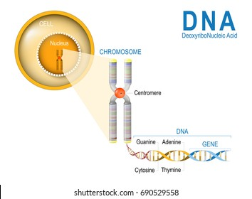 Cell, Chromosome, DNA and gene. Cell Structure