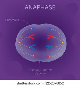 The Cell Cycle - Anaphase