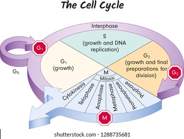 The Cell Cycle, Biology, main phases