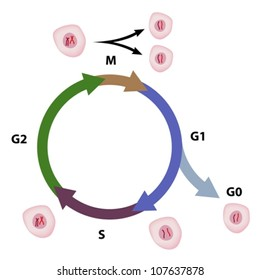 Cell cycle images stock photos vectors shutterstock cell cycle diagram ccuart Images