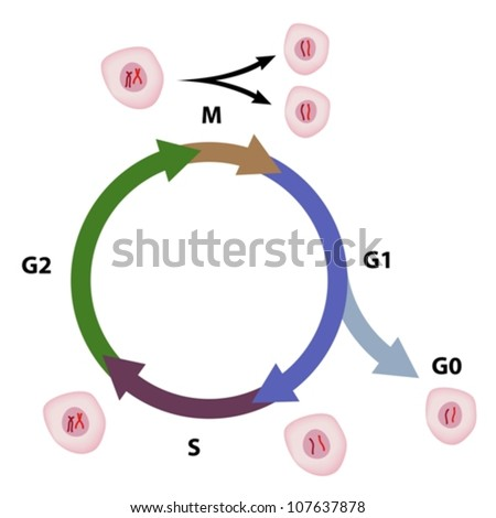 Cell Cycle Diagram Stock Vector Royalty Free 107637878 Shutterstock