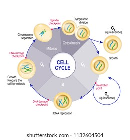 Cell Cycle (Cell division): from quiescence, Growth and DNA replication to Mitosis and Cytokinesis. Cell cycle checkpoints: DNA damage, Spindle checkpoint, Restriction point. Vector illustration