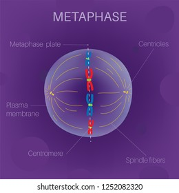 The Cell Cycle - Metaphase