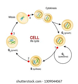 Cell Cycle. from quiescence, Growth and DNA replication to Mitosis and Cytokinesis and Checkpoints. Vector illustration for biology, educational, medical and science use