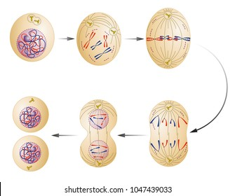 Cell division. Mitosis. Vector scheme
