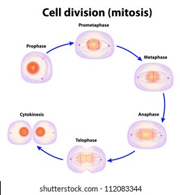 mitosis images, stock photos & vectors shutterstock diagram of mitosis in onion root tip mitosis vector scheme