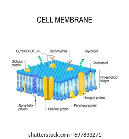 Cell membrane. A detailed diagram models of membrane Structure
