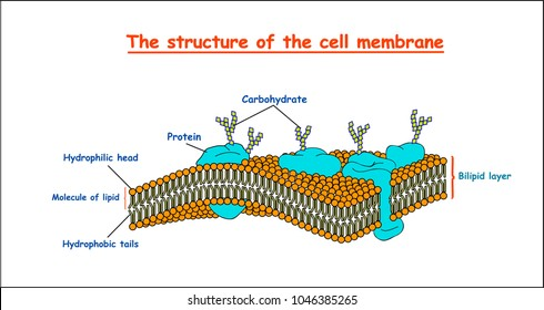 cell membrane structure on white background isolated. Education vector illustration
