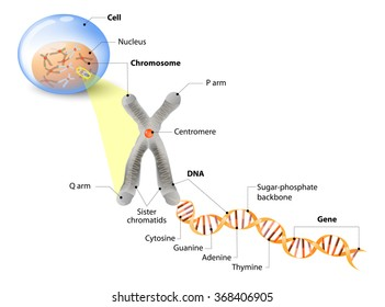 cell structure  the dna molecule is a double helix  a gene is a length
