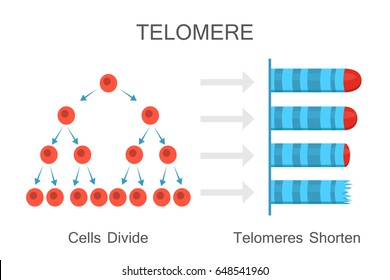 Cells divide - telomeres shorten. Vector illustration