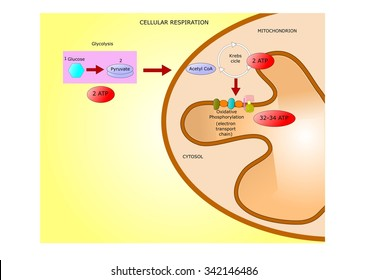 cellular respiration: formation of ATP starting from glucose till oxydative phosphorylation into the mitochondrion.