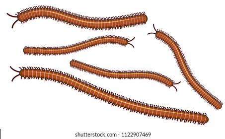 Centipede on White Background illustration