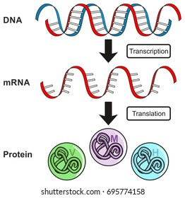Central Dogma of Gene Expression infographic diagram showing the process of transcription and translation from DNA to RNA to protein and how it form for genetic science education