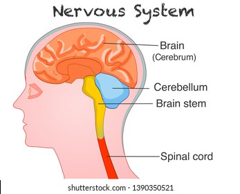 Central nervous system anatomy. Human. Side view of colored organs. For education, annotated central nervous system. White background. 2d drawing vector illustration.