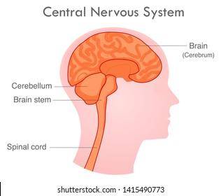 Central nervous system. Human skull diagram. Side view nerve system organs.   Basic annotated central nervous system. White background. 2d drawing vector illustration.