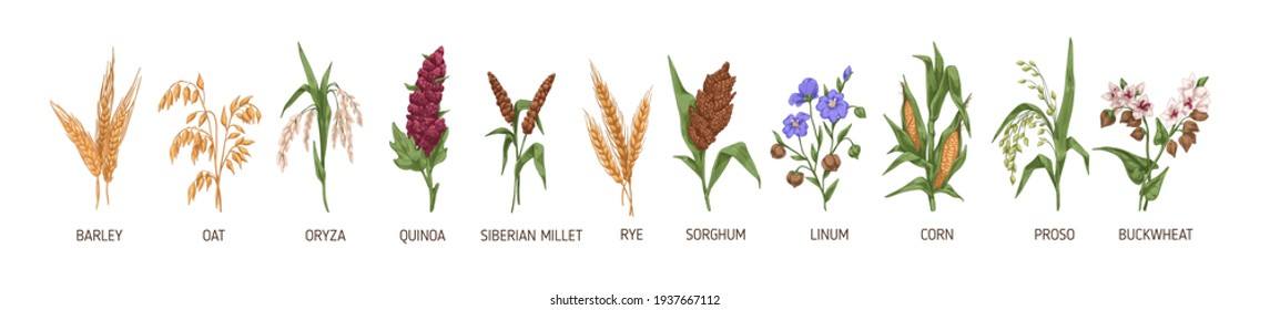 Cereal plants such as barley, rye, corn, buckwheat, flax, oat, proso, quinoa, rice, siberian millet and sorghum. Spikelets of organic crops. Colored vector illustration isolated on white background