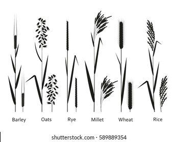 Cereals plants set. Carbohydrates sources.  Vector illustration.