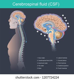 Cerebrospinal fluid (CSF) It protects the brain and spinal cord from impact, eliminates waste from the brain and spinal cord, and helps toxins in the blood enter the brain tissue.