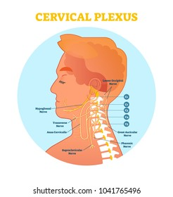 Cervical Plexus anatomical nerve diagram, vector illustration medical scheme with human head and neck cross section.