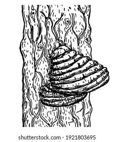 Chaga mushroom on tree. Vector drawing. Botanical illustration. Medical plant. Herbal engraved style sketch. Superfood object. Chaga mushroom powder, popular healing healthy super food