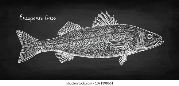 Chalk sketch of sea bass on blackboard background. Hand drawn vector illustration. Retro style.