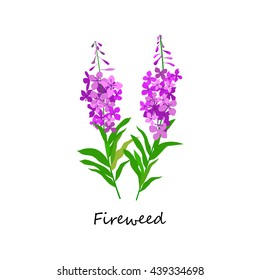 Chamaenerion. Fireweed. Wildflower. Botany Set herbs. Illustration of Flower isolated on a white background. Vector eps10