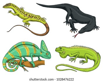 Chameleon Lizard, American green iguana, reptiles or snakes or Komodo dragon monitor. herbivorous species. vector illustration for book or pet store, zoo. engraved hand drawn in old sketch.