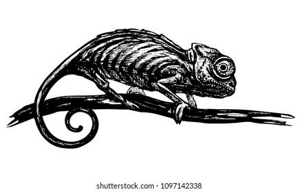 Chameleon sitting on branch. Vector black ink illustration of lizard isolated on white