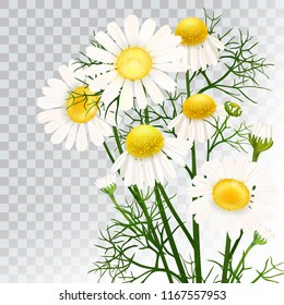 Chamomile. A bouquet of camomile flowers. Beautiful flowers of chamomile medical