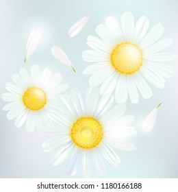 Chamomile. A bouquet of camomile flowers. Beautiful flowers of chamomile
