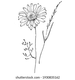Chamomile by hand drawing. Daisy wheel floral tattoo highly detailed in line art style concept. Black and white clip art isolated on white background. Antique vintage engraving illustration.
