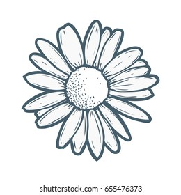 Chamomile, camomile flower floral hand drawn engraving vector illustration. White flower on white