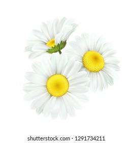 Chamomile daisy flower isolated on white background. Vector illustration EPS10