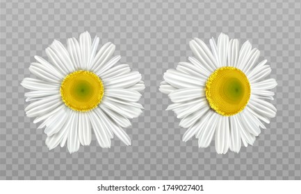 Chamomile, daisy flowers isolated on transparent background. Vector realistic set of camomile blossom with white petals and yellow pollen. Spring marguerite, garden or wild floral plant