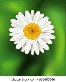 Chamomile flower background. Daisy flower