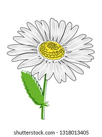 Chamomile flower with stem on white background. Vector drawing