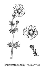 Chamomile flowers and inflorescence. Matricaria recutita, Chamomilla recutita. Vector. Daisy icon. Medicinal herbs.Hand drawn officinale plants. Botanical sketch.