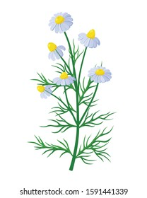 Chamomile healing flower vector medical illustration isolated on white background in flat design, infographic elements, Camomile healing herb icon.