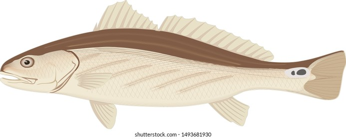 Channel Catfish. vector icon marine