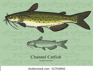 Channel Catfish. Vector illustration with refined details and optimized stroke that allows the image to be used in small sizes (in packaging design, decoration, educational graphics, etc.)