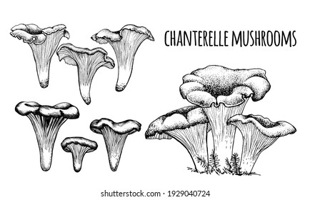 Chanterelle mushrooms Vector illustration hand-drawn, family of edible mushrooms, graphic drawing with lines, Healthy organic food, vegetarian food, fresh mushrooms isolated on a white background