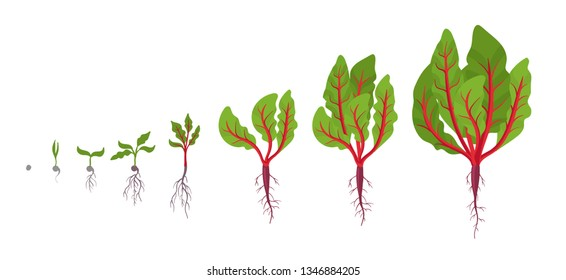 Chard growth stages. Planting of leaf stalks plant. Swiss chard taproot life cycle. Vector illustration on white background. Beta vulgaris.
