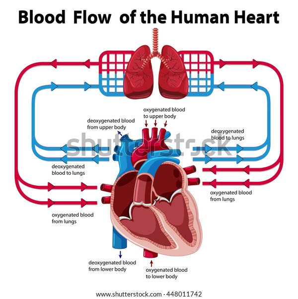 Chart Showing Blood Flow Human Heart Stock Vector Royalty