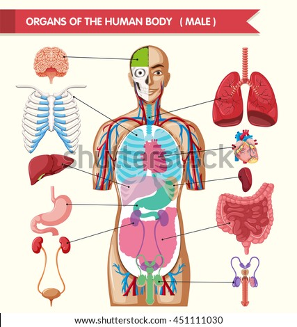 Chart Showing Organs Human Body Illustration Stock Vector (Royalty ...