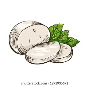 Cheese Buffalo mozzarella with basil leaves. Colored hand drawn engraving. Vector illustration.