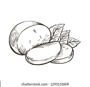 Cheese Buffalo mozzarella with basil leaves. Hand drawn engraving. Vector illustration.