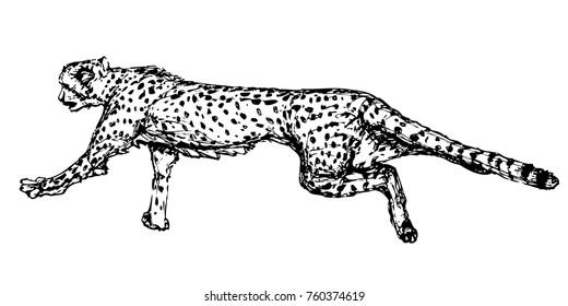 Cheetah running ink vector illustration. Big cat drawing