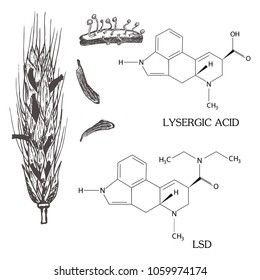 The chemical formula of LSD lysergic acid with the spike of rye struck by ergot. Vintage botanical sketch, engraved style vector illustration on white background/