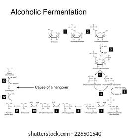 Chemical scheme of alcoholic fermentation metabolic pathway, 2d illustration on white background; vector, eps 8